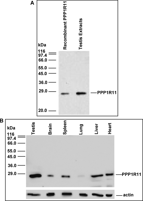 PPP1R11 is present in various tissues including testis.A. Validation of PPP1R11 antibody was performed as follows: recombinant PPP1R11 and testis protein extracts were separated by SDS-PAGE followed by western blot analysis with affinity purified rabbit polyclonal anti-PPP1R11. Size markers (left) were derived from β-Galactosidase (116-kDa), Phosphorylase b (97.4-kDa), Albumin (66-kDa), Glutamic dehydrogenase (55-kDa), Ovalbumin (45-kDa), Glyceraldehyde-3-phosphate dehydrogenase (36-kDa), Carbonic anhydrase (29-kDa), and Soybean trypsin inhibitor (20-kDa). B. Soluble protein extracts from testis and somatic tissues were separated by SDS-PAGE followed by western blot analysis with the validated affinity purified PPP1R11 antibody, and the same blot was stripped and reprobed with anti-actin used as a loading control.