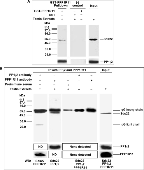 Sds22, PPP1R11, and PP1γ2 are bound to each other in crude testis protein extracts.A. The recombinant proteins GST-PPP1R11 and control GST were incubated with testis cell lysates in the presence of Glutathione-Sepharose beads. The eluted proteins and testis extracts alone were resolved by SDS-PAGE and subjected to western blot analysis with anti-Sds22 and anti-PP1γ2 antibodies. B. Testis protein extracts and buffer controls were incubated with anti-PP1γ2, anti-PPP1R11, or preimmune serum immobilized on Protein G-Sepharose-4 beads, as indicated at the top of the figure. The immunoprecipitates were separated by SDS-PAGE and immunoblotted for the proteins indicated at the bottom of the figure. (ND: not done).
