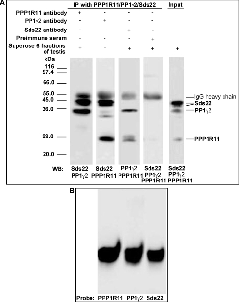 PPP1R11, Sds22, and PP1γ2 from co-eluting fractions are reciprocally co-immunoprecipitated, and co-migrate by native PAGE.A. Superose 6 fractions (C4 and C5 from Figure 3C) of testis extracts containing co-eluted PPP1R11, PP1γ2, and Sds22 were incubated with anti-PPP1R11, anti-PP1γ2, anti-Sds22, or preimmune serum immobilized on Protein G-Sepharose 4 beads, as indicated at the top of the figure. The immunoprecipitates were separated by SDS-PAGE and immunoblotted for co-precipitating proteins as indicated below each blot strip (The reason why Sds22 migrates as a doublet is not known). B. C4 and C5 fractions of testis proteins purified by Superose 6 column chromatography were also separated by native PAGE followed by western blot analysis. Triplicated blot strips probed with either anti-PPP1R11, anti-PP1γ2, or anti-Sds22 antibodies, as indicated, demonstrate that PPP1R11, PP1γ2, and Sds22 co-migrate.