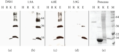 Western blots performed with antibodies, DAb1(a), 1.9A(b), 4.8E(c), and 3.9G(d). The four different clones each recognises the recombinant ε-Hb, giving a correct band of 17 kDa (ε-Hb protein fused with His-Tag; adding 8 amino acids). Furthermore they all recognise a slightly smaller band of 146 amino acid residues in the K562 extract, containing the ε-Hb. A difference is observed for the recognised band in the lane containing the recombinant ε-Hb and the ε-Hb in the K562 extract. Lane H: a control his-tagged protein, R: adult red blood cell extract, K: K562 cell extract, and E: recombinant ε-Hb chain (2,5 μg). (e) Representative ponceau staining of the blotted proteins. M: the marker.