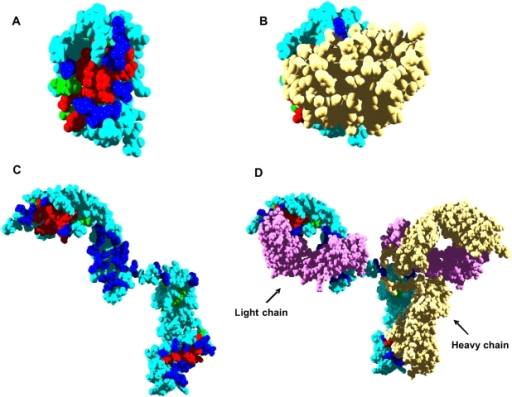 Aggregation and interaction regions in human immunoglobulins.In all panels, immunoglobulin (Ig) aggregation-prone residues at less and more than 3 Å from interaction sites are shown in red and green, respectively. Interface residues not included in aggregation-prone regions are shown in dark blue. Rest of residues are shown in light blue. A) The interface in the native structure of Ig light chain variable domain (LC) is used for calculation (PDB ID: 2Q20). B) Native homodimer of Ig LC, the second monomer is shown in yellow. C) The interface in the native structure of IgG heterotetramer is used for calculation and the Ig heavy chain (HC) represented (PDB ID: 1HZH). D) Native IgG heterotetramer. Ig LCs and the second Ig HC are indicated.