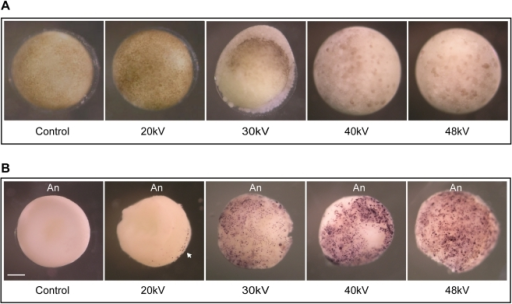 "Whole-mount TUNEL assay exposes apoptotic cells in irradiated embryos.A. Pre-MBT embryos were exposed to different energies 20 kV, 30 kV, 40 kV and 48 kV to equal a total dose of ∼65 Gy. Non-irradiated embryos are referred to as ""control"". Six hours after the MBT, embryos were fixed in MEMFA as described in the ""Materials and Methods"" section and photographed. B. TUNEL staining was performed on fixed embryos to detect DNA fragmentation. Embryos were treated as described in (A). Intense TUNEL staining was detected in the animal pole portion of the embryos. The embryos shown in B are representative of the TUNEL staining observed following analysis of ∼80 embryos of which 20% were stained. Arrowhead points to labeled nuclei. An, animal pole. Scale bar, 250 µm."
