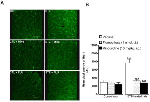 Effect of microglia inhibitors administered 3 h earlier on Iba-1 microglial immunoreactivity in the spinal dorsal horn of control and 4-day STZ-diabetic rats. Shown are (A) confocal microscopy pictures of microglial cells, and (B) the quantification of the mean pixel energy of Iba-1 (in arbitrary unit, AU). Scale bar = 100 μm. Data are the mean ± S.E.M of 4 pictures per rat from 4 rats in each group. Background mean energy was subtracted for each picture. Statistical comparison to control (*) or STZ rats treated with vehicle (+) is indicated by *** +++ P < 0.001.