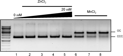 Zn2+ ions and endonuclease activity of NgoL-CTD.The effect of increasing metal ion (ZnCl2) concentration on endonuclease activity of NgoL-CTD was monitored. It was seen that the enzyme exhibits endonuclease activity in the presence of Mn2+ (lanes 6,7 and 8) and not Zn2+ ions (lanes 2 to 5).