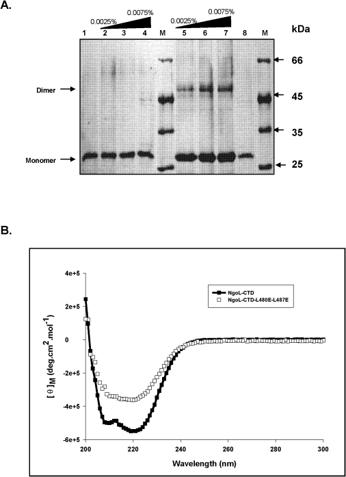 Characterization of NgoL-CTD-L480E-L487E.The change in oligomeric status of the mutant protein was characterized by assessing differences in the products of chemical crosslinking and CD spectra. (A) Chemical crosslinking of NgoL-CTD wild type and NgoL-CTD- L480E-L487E using glutaraldehyde: The NgoL-CTD wild type and NgoL-CTD- L480E-L487E (10 μM) were treated with increasing concentrations of 0.05% glutaraldehyde and products analyzed as described in Materials and methods section. Lane 1, NgoL-CTD-L480E-L487E alone; lane 2, 3 & 4, NgoL-CTD-L480E-L487E and increasing concentration of glutaraldehyde; lane 5, 6 & 7, NgoL-CTD wild type and increasing concentration of glutaraldehyde, lane 8, NgoL-CTD wild type alone; M, molecular weight markers. (B). CD spectra of NgoL-CTD and NgoL-CTD-L480E-L487E. Both the proteins were dialyzed against 10 mM potassium phosphate (pH 8) buffer containing 30 mM KCl. CD spectra were recorded from 200 to 300 nm as described in Materials and methods.