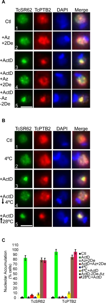 Nucleolar accumulation of RBPs upon ActD treatment depends on an active transport mechanism.(A) Epimastigotes were incubated with both sodium Azide (Az) and 2-Deoxy-Glucose (2De) and ActD at 28°C for 24 h. (B) Epimastigotes were incubated with ActD at 4°C for 24 h. Then, immunofluorescence studies were performed using antibodies against TcSR62 (green) and TcPTB2 (red). Recovery of both treatments was allowed either by washing up the cultures and then incubating with fresh medium (−Az−2De+ActD) or reincubating at 28°C (↑28°+ActD) for 24 h. Each inhibitor treatment alone or cell culture at 4°C, are shown as controls. Nuclei were counterstained with DAPI (blue). The fourth column on the right is an overlap of the TcSR62 and TcPTB2 and DNA stain. Green and red pixels overlapped in the digital images yielded yellow signals. Size bars represent 2 µm. Representative nuclei are shown. The graphic in panel (C) is a quantification of the experiments shown in panels (A) and (B). Results are expressed as mean +/− SD from at least three independent experiments.