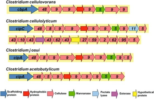 Cellulosome‐related gene clusters in the genome of mesophilic clostridia.