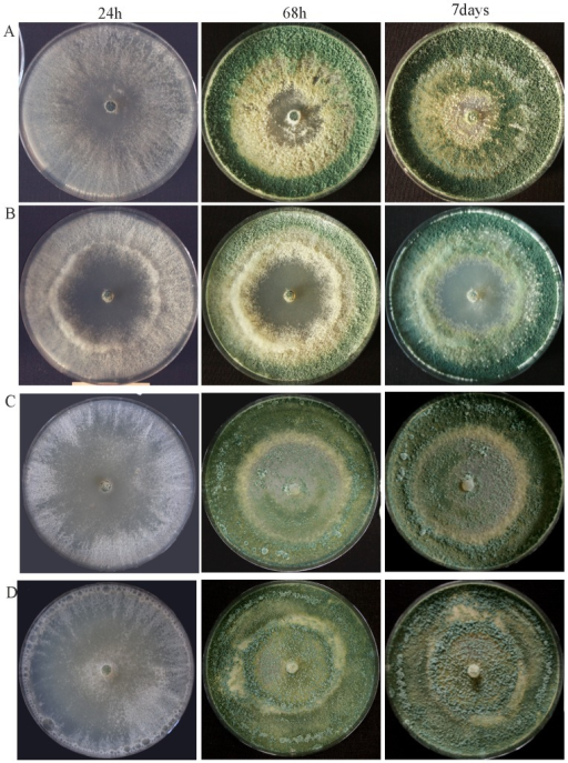 Colony morphology of Δste12 (B) in comparison to the parental strain (A) and the complemented strains ste12-C1(C) and ste12-C2(D) upon growth on potato dextrose agar at 28°C for up to 7 days.