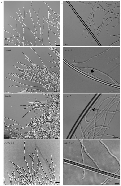 Phenotypes of the Δste12 and Δtmk1 mutants compared to the parental strain (WT) and the complemented strain ste12-C2 upon growth on potato dextrose agar (PDA).(A) Hyphae of Δste12 and Δtmk1 mutants attached and formed hyphal aggregates in the colony periphery whereas the parental and the complemented strain showed hyphal avoidance. (B) Light microscopy of hyphae of the Δste12 and Δtmk1 mutants, the parental strain, and the complemented strain ste12-C2 upon growth on PDA with plain nylon fibers (approximate diameter 14 µm). Attachment to and growth along the fibers of hyphae of Δste12 and Δtmk1 mutants is marked with arrows.