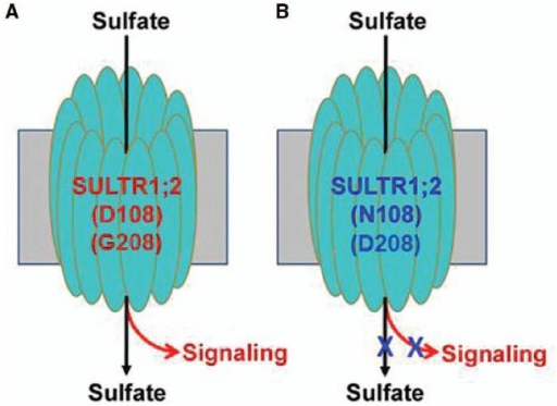 A hypothetical model for the dual function transceptor SULTR1;2.(A) The normal (wild-type) transceptor functions both in SO42– transport and signaling; (B) the transceptor is defective both in transport and signaling due to the mutations of D108N or G208D.