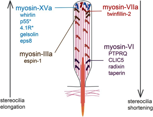 List of myosins and their interactors involved in the control of stereocilia length. The roles of myosin-VI, myosin-VIIa, and myosin-XV have been determined by the study of mutant mice defective for these proteins. In contrast, the implication of myosin-IIIa in stereocilia elongation was assessed in vitro from the observation that stereocilia are taller than normal in co-transfected hair cells producing myosin-IIIa and espin 1 [184]. Single asterisk These proteins have not been associated with deafness forms in humans or in mice