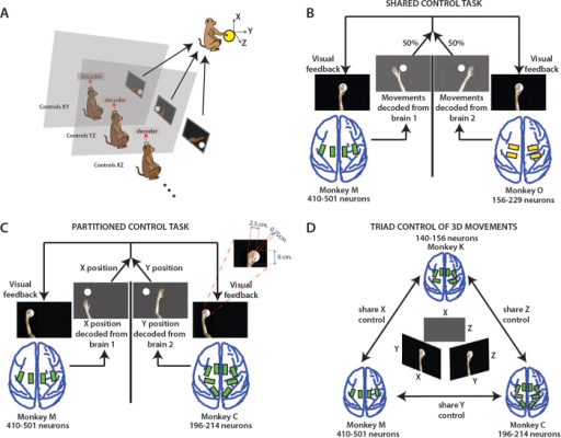 Experimental setups for B2 and B3 experiments.(A) Monkeys were seated in separate rooms, each facing a computer monitor showing the virtual avatar arm (inset in C) from a 1st person perspective. (B) Shows the shared control task, (X,Y) position of the virtual arm was decoded during centre-out movements from the two monkeys' brains with each given 50% control of the arm. Electrode array location shown on brains. (C) Shows the partitioned control task. X position of the arm was decoded from one monkey and Y position from the other during centre-out movements toward targets. (D) Shows the 3-monkey task. Each monkey observed and had 50% control over 2 of the 3 dimensions (X, Y, or Z). Together, the three monkeys must accurately perform a 3-D centre-out movement to achieve reward. Drawings by Miguel A.L. Nicolelis.