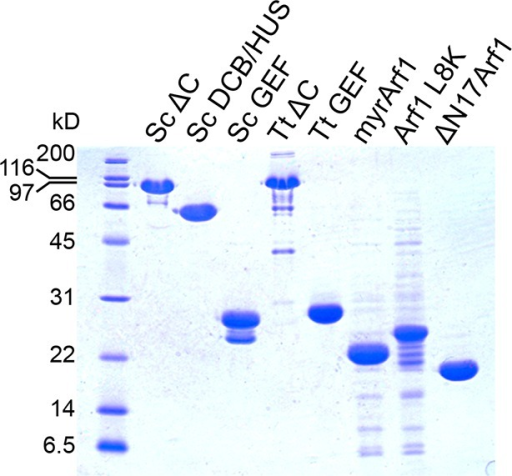 Purity of constructs used for kinetic assays.2.5 μg of each construct used for biochemical assays were separated by SDS-PAGE and stained by Coomassie to assess purity.DOI:http://dx.doi.org/10.7554/eLife.12411.019