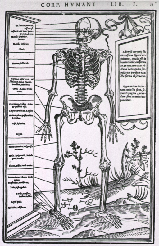 <p>Full length, front view of a human skeleton.</p>