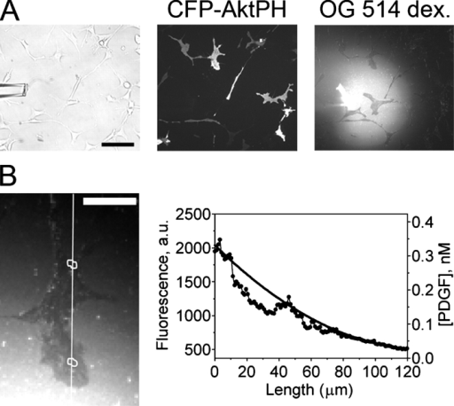 TIRF imaging of extracellular and intracellular gradients. (A) A micropipette was coloaded with Oregon green (OG) 514–dextran and a prescribed concentration of PDGF, and PDGF gradients were presented to NIH 3T3 fibroblasts transfected with CFP-AktPH. Bar, 100 μm. (B) Although the TIRF excitation of the volume marker is partially occluded by the cells (Lanni et al., 1985), the surrounding regions allow the estimation of the PDGF concentration profile across the cell, as described in Materials and methods. The solid curve in the plot is the best polynomial fit to the fluorescence profiles on either side of the cell, along the line scan depicted in the TIRF image. Bar, 30 μm.