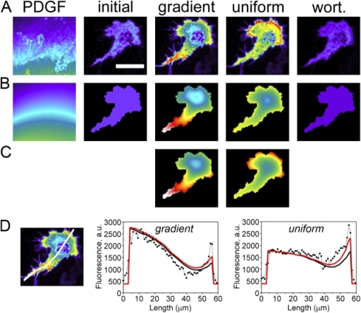 Spatial modeling of intracellular TIRF profiles. (A) TIRF images showing the extracellular OG 514–dextran profile (PDGF) and intracellular CFP-AktPH profiles as in Fig. 3 A (the cell is the same as in Fig. 3 A, with midpoint [PDGF] = 0.61 nM and δ = 0.75). All CFP-AktPH images use the same absolute pseudocolor scale, and the OG 514–dextran image is scaled such that black is the background and white is the TIRF intensity at the pipette tip. Bar, 30 μm. (B) Virtual images obtained from finite element calculations (see supplemental Modeling details for specifics and parameter definitions, available at http://www.jcb.org/cgi/content/full/jcb.200509028/DC1). Dimensionless parameter values describing 3′ PI diffusion and the AktPH interaction are the same as those used previously (Haugh and Schneider, 2004; Schneider and Haugh, 2004; Schneider et al., 2005: Da = 3; μ = 5; κP = 2; υt = e + x0(1 − 〈e〉); and υb = x0(1 − 〈e〉). Parameters describing the PDGF dose response have the same values used in Figs. 1 and 3: αdmax = 10; κE = 0.1; and L* = 1 nM. The two remaining parameter values (σ = 15.0 and x0 = 0.016) were specified to match the overall fluorescence intensities observed before stimulation and after uniform PDGF stimulation. (C) Finite element calculations accounting for enhanced 3′ PI levels in leading edge hot spots. Hot spots were modeled as regions with locally enhanced PI 3-kinase activity (υb = υt = e + x0[1 − 〈e〉]) and slower 3′ PI diffusion coefficient (reduced by half). Other parameters are as in B except σ = 16.3 and x0 = 0.015. (D) Comparison of observed (dots) and calculated (solid lines; the model with hot spots is in red) TIRF profiles along the line scan indicated.