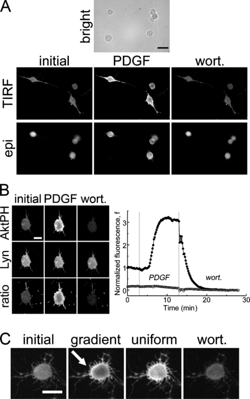 PDGF-stimulated PI 3-kinase activation is not dependent on Rho family GTPases. (A) Bright field, TIRF, and epifluorescence images of GFP-AktPH–transfected fibroblasts that were pretreated with C. difficile toxin B responding to successive additions of 10 nM PDGF and wortmannin (wort). Inactivation of Rho family GTPases dramatically alters cell morphology but not PDGF-stimulated PI 3-kinase activation. Bar, 30 μm. (B) TIRF images of a fibroblast cotransfected with YFP-AktPH and the membrane marker Lyn-CFP treated as in A. Ratio images are YFP/CFP. The average normalized TIRF intensity is plotted as a function of time for the YFP-AktPH (closed circles) and Lyn-CFP (open circles) channels; the dotted lines indicate the additions of uniform PDGF and wortmannin. (C) PDGF gradient sensing after inactivation of Rho family GTPases. Toxin-treated cells typically showed AktPH translocation in TIRF but not a definite gradient-sensing response, which was expected given the relatively small cell dimensions. The cell shown is one of those in which a noticeable gradient response was seen. The arrow indicates the PDGF gradient orientation from high to low. (B and C) Bars, 15 μm.