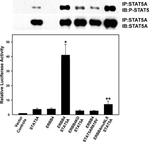 ERBB4 nuclear translocation modulates STAT5A stimulation of the β-casein promoter. MCF-7B cells were cotransfected with the bovine β-casein promoter fused to luciferase and plasmids expressing the indicated cDNAs. Cell lysates were prepared at 2 d after transfection and luciferase activity was determined using standard methods. Results are reported as fold increase in luciferase activity relative to β-casein promoter luciferase cotransfected with empty vector controls. ERBB4/STAT5A stimulation of the β-casein promoter was significantly greater than each of the other treatments (* indicates P < 0.05). ERBB4muNLS/STAT5A stimulation of the β-casein promoter was significantly greater than the ERBB4 kinase-dead (ERBB4KD/STAT5A) and STAT5A SH2 domain mutant (ERBB4-Flag/STAT5AR618V) negative controls (** indicates P < 0.05). Each treatment was preformed in duplicate and the entire experiment was repeated three times. STAT5A was immunoprecipitated from lysates prepared for luciferase assay and analyzed by Western blot for STAT5A expression and activation by phosphorylation at the regulatory Y694 (top).