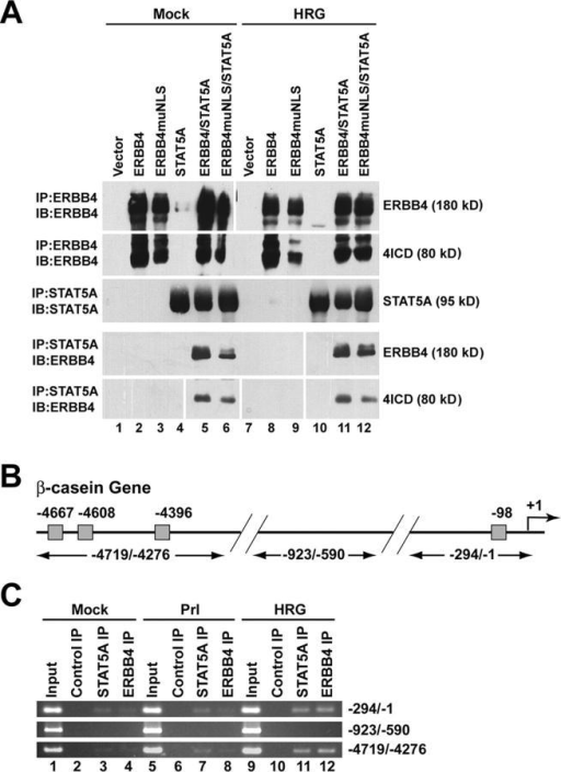 The 4ICD and STAT5A associate in vivo and bind to the endogenous β-casein promoter. (A) 4ICD is associated with STAT5A. COS-7 cells were transfected with the indicated expression plasmids and at 2 d after transfection cells were mock stimulated or stimulated with 50 ng/ml of HRG for 30 min at RT. ERBB4 and STAT5A immunoprecipitates were prepared from cell lysates, resolved by PAGE, and probed for ERBB4 and/or STAT5A by Western blot. White lines indicate that intervening lanes have been spliced out. (B) Schematic of β-casein gene indicating positions of primers for semi-quantitative PCR of distal (−4719/−4276) and proximal (−294/−1) upstream regulatory regions and a promoter region lacking STAT5A GAS binding sites (−923/−590). Gray boxes indicate positions of STAT5A GAS binding sites (Winklehner-Jennewein et al., 1998). (C) Semi-quantitative PCR amplification of DNA bound to ERBB4 and STAT5A isolated by ChIP assay. T47D breast cancer cells were mock stimulated, stimulated with 5 μg/ml of ovine Prl, or stimulated with 50 ng/ml of HRG for 30 min at RT. PFA cross-linked chromatin was immunoprecipitated using control rabbit IgG or antibodies directed against ERBB4 and STAT5A and subjected to 35 cycles of PCR. Input chromatin was prepared from cross-linked and cleared cell lysates using standard DNA precipitation procedures and amplified by PCR as above. PCR amplified samples were resolved on a 2% agarose gel and stained with ethidium bromide.