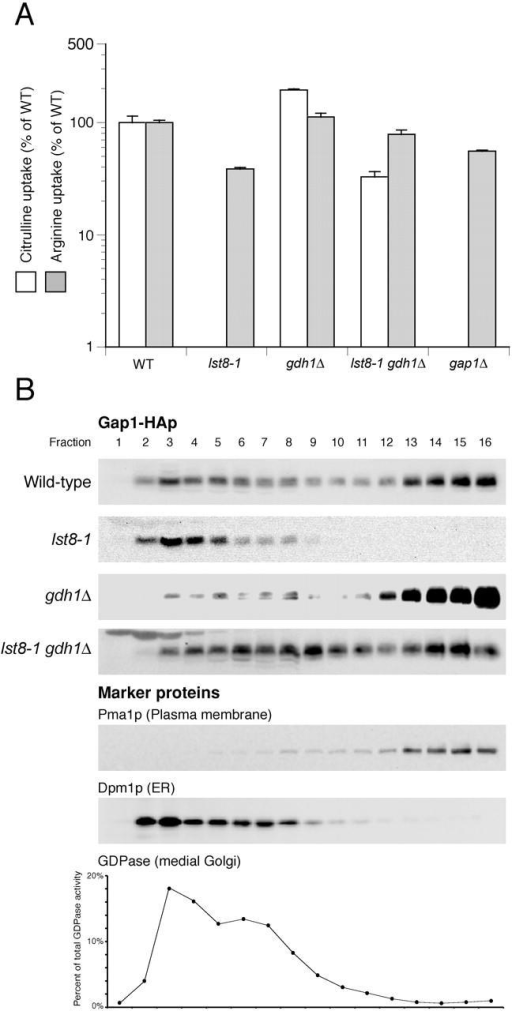 The Gap1p sorting defect of an lst8-1 mutant is suppressed by deletion of gdh1. (A) Gap1p activity was measured by assaying the rate of [14C]citrulline uptake (white bars) of wild-type (CKY759), lst8-1 (CKY768), gdh1Δ (CKY762), or lst8-1 gdh1Δ (CKY769), all with the GAP1 locus replaced by PADH1-GAP1-HA, or of gap1Δ (CKY445) growing on ammonia medium. The rate of [14C]arginine uptake (gray bars) is shown for comparison. Uptake rates are expressed as a percentage of the uptake rate of wild-type. The data shown represent three independent assays, and the error bars represent one SD. (B) The first four strains shown in A were grown in ammonia medium at 24°C, and cell extracts were subjected to isopycnic fractionation on continuous 20–60% sucrose density gradients with EDTA. Fractions were collected from the top of the gradients and proteins were separated by SDS-PAGE. In all the strains shown, Pma1p, Dpm1p, and GDPase fractionated similarly.