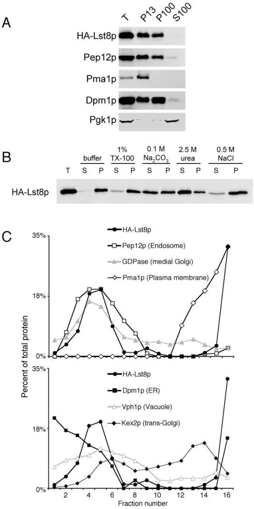 Lst8p is a peripheral membrane protein that cofractionates with Golgi and endosomal compartments and with Tor1p. (A) A cleared cell lysate from a strain with integrated HA-LST8 (CKY784) was fractionated by centrifugation at 13,000 g, then at 100,000 g. Compartment markers are as follows: Pep12p, endosome; Pma1p, plasma membrane; Dpm1p, ER; and Pgk1p, cytosol. The exposure time for the Pgk1p panel was very short relative to the other panels. (B) A cleared cell lysate from CKY784 was incubated with the treatments shown for 1 h at 4°C, then centrifuged for 1 h at 100,000 g. (C) Fractionation of membranes on a flotation gradient shows that HA-Lst8p associates with membranes. A cleared cell lysate from CKY784 was centrifuged at 100,000 g for 1 h onto a cushion of 80% (wt/vol) sucrose. The membranes were collected and loaded at the bottom of a continuous 30–50% sucrose gradient, and centrifuged at 100,000 g for 17 h. (D) GFP-Lst8p was visualized in an lst8Δ strain containing GFP-LST8 on a centromere plasmid (CKY785). (E) HA-Tor1p–containing membranes cofractionate with HA-Lst8p membranes. Membranes from a strain coexpressing HA-LST8 and HA-TOR1 (CKY800) were fractionated as in C.
