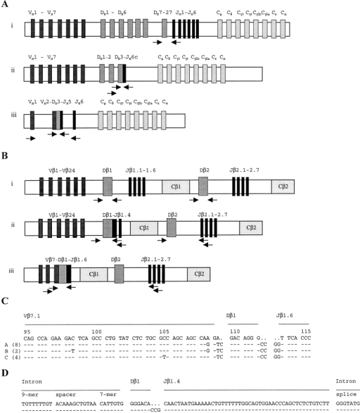 Amplification of IgH gene and TCR-β gene rearrangements from H/RS cells. PCR strategies for amplification of PCR products which are specific for IgH (A) or TCR-β (B) germline configuration (i), DJ gene rearrangements (ii), and VDJ gene rearrangements (iii) are depicted. VH1-VH7 and Vβ1-Vβ24 represent the seven Ig VH gene families and the 24 TCR Vβ gene families; and JH1-JH6 and Jβ1.1-1.6 and Jβ2.1-2.7 indicate the Ig JH and the TCR Jβ genes, respectively. The IgH DJ (A, ii) and IgH VDJ (A, iii) rearrangements and TCR-β DJ (B, ii) and TCR-β VDJ (B, iii) rearrangements depict those amplified from cases I and III, respectively. Arrows indicate the PCR primers used (not to scale). (C) A fragment (codons 95–115) of the sequence alignment of the clonal TCR Vβ7.1–Dβ1–Jβ1.6 rearrangement amplified from single H/RS cells of case III is given. The germline sequence of Vβ7.1, Dβ1, and Jβ1.6 genes (top) is compared with the clonal sequence variants (A, B, and C) obtained from eight, two, and four H/RS cells of case III, respectively. The three sequence variants (A, B, and C) differ by single nucleotide substitutions in codons 98, 105, and 108 (complete sequence data are available from GenBank/EMBL/DDBJ under accession nos. AJ243645–AJ243647). (D) Sequence alignment of the clonal TCR Dβ1–Jβ1.4 rearrangement amplified from 14 H/RS cells of case III is given. In contrast to the clonal Vβ7.1 gene rearrangement (C), the Dβ1–Jβ1.4 gene rearrangement does not exhibit intraclonal diversity (complete sequence data is available from GenBank/EMBL/DDBJ under accession no. AJ243648).