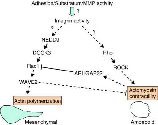 Signaling control of mesenchymal and amoeboid cell phenotypes. The reciprocal inhibitory relationship between Rac and Rho signaling cascades establishes a bistable switch that controls the mesenchymal and amoeboid phenotypes. Mesenchymal morphology is controlled by a pathway that activates Rac1 via the adaptor protein NEDD9 and the Rac-specific GEF DOCK3. Rac1 activation results in actin polymerization mediated by the actin-nucleation protein WAVE2, which promotes cell elongation. WAVE2 somehow also suppresses actomyosin contractility and, consequently, amoeboid behavior. On the other hand, Rho/ROCK activation stimulates actomysoin contractility, thereby promoting the amoeboid phenotype, and inhibits Rac by activating the Rac-specific GAP, ARHGAP22. Presumably both Rac1 and Rho activation are ultimately controlled by integrin activity, but precisely how the extracellular environment favors either Rac or Rho signaling remains to be resolved. Solid arrows, direct connections; dashed arrows, indirect connections.