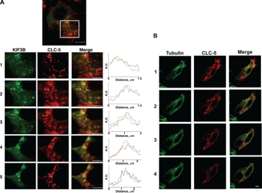 Confocal microscopy shows colocalization of CLC-5 and KIF3B. HEK293 cells transfected with fluorescently tagged CLC-5 and KIF3B (CLC-5-RFP and KIF3B-GFP) and costained with anti-α-tubulin or anti-Kinesin-2. A-C: Z-stack dual wavelength confocal microscopy. For each stack, images were obtained in 2 channels over 15 horizontal planes that were 0.7 μm apart. A: HEK293 cells transfected with KIF3B-GFP and CLC-5-RFP. Green signals: KIF3B; red signals: CLC-5; yellow signals: colocalized KIF3B and CLC-5 (merge). Confocal Z-stack images and intensity profile line scans demonstrated that KIF3B-GFP and CLC-5-RFP are partially colocalized, as evidenced by the yellow signals or by an overlap of <300 nm, which is the estimated diameter of a proximal tubular endosomal vesicle (19), in the red and green peaks (confocal images 1 to 5). The intensity profile line scans were performed between the white crosses as indicated on confocal images 1 to 5, with the intensity measured in arbitrary units (A.U.). Scale bar top: 10 μm; scale bar confocal images 1 to 5: 2 μm. B: HEK293 cells transfected with CLC-5-RFP and costained with anti-α-tubulin. Red signals: CLC-5; green signals: tubulin; yellow signals: colocalized CLC-5 and tubulin (merge). CLC-5-RFP was present at the plasma membrane and in punctate structures throughout the cytoplasm, where it was localized with tubulin, indicating its association with microtubules. Scale bars: 10 μm. C: HEK293 cells transfected with CLC-5-RFP and costained with anti-Kinesin-2 antibody. Red signals: CLC-5; green signals: Kinesin-2; yellow signals: colocalized CLC-5 and Kinesin-2 (merge). Scale bars: 10 μm. D and E: live cell imaging using dual-wavelength confocal microscopy of HEK293 cells cotransfected with full-length CLC-5-RFP and full-length KIF3B-GFP. Green signals: KIF3B; red signals: CLC-5; yellow signals: colocalized CLC-5 and KIF3B. Scale bar: 10 μm. A proportion of CLC-5-RFP-labeled vesicles was transported along KIF3B-labeled cytoskeletal network structures. E: progress of a vesicle (arrowed), over 10 s, is illustrated. The vesicles were estimated to move at an approximate rate of 0.42 μm/s. Scale bar: 5 μm.