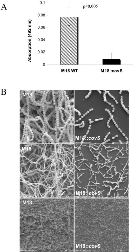 Biofilm production of serotype M18 GAS and M18::covS mutant strains. The GAS strains were grown on a polystyrene well surface or plastic coverslips, coated with human collagen type I, for 72 h in static culture. A. Safranin assay. B. Scanning electron microscopy. Different magnifications are presented as follows: 200×, 2000×, 5000× (from lower to upper panel, respectively). The P-value of differences as determined by two-tailed paired Student's t test is shown above the columns in panel A.