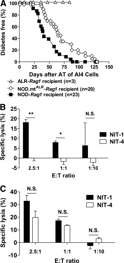The mt-Nd2a allele confers resistance to killing by diabetogenic CD8+ AI4 T-cells in vivo and in vitro. A: Type 1 diabetes onset is significantly retarded following A14 transfer into Rag1 recipients conplastic for the mt-ND2a allele (NOD.mtALR-Rag). Splenocytes from young (3–5 weeks old) NOD-AI4a/b F1 hybrids were collected and erythrocytes removed using hypotonic solution treatment. Cells were injected intravenously (tail vein) at 2 × 107 cells/mouse into age-matched female recipients. Onset of diabetes was monitored using Diastix, with a diagnosis of type 1 diabetes called after positive tests on 2 sequential days. B and C: AI4-induced CML is significantly reduced in NIT-4 cells compared with NIT-1 cells in vitro. Effector cells, splenocytes from NOD-AI4a/b F1 mice were isolated, erythrocytes removed, and the T-cells activated for 3 days with 0.1 μmol/l AI4 mimotope (amino acid sequence YFIENYLEL) and 25 units/ml interleukin-2 in RPMI1640 supplemented with 10% FBS, 2 mmol/l l-glutamine, 1.5g/l sodium bicarbonate, 10 mmol/l HEPES, and 1.0 mmol/l sodium pyruvate. Target NIT-1 and NIT-4 cells were seeded at 1 × 105 cells/well in 96-well culture plates, labeled with 51Cr (Perkin Elmer) for 3 h, and washed; then activated AI4-effector cells were added at increasing effector-to-target (E:T) ratios, in triplicate. B: Cr-51–labeled NIT-1 and NIT-4 cells were cultured with preactivated AI4 cells at different E:T ratio for 16 h. Specific lysis of NIT-4 cells at the highest E:T ratio is only 40% that of NIT-1. C: NIT-1 and NIT-4 cells were primed with 1,000 U/ml IFN-γ for 24 h before adding T-cells. Both cell types were more sensitive to AI4 T-cell killing compared with unprimed. At the highest E:T ratio, NIT-4–specific lysis reached 61% that of NIT-1. **P = 0.0009; *P = 0.0048. AT, adoptive transfer; NS, not statistically significant.