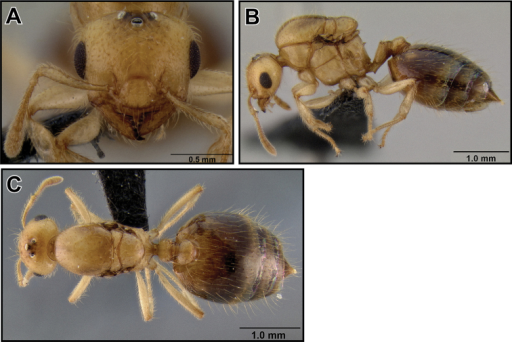 Crematogaster madecassa, queen. A full face, B lateral, C dorsal (CASENT0040391).