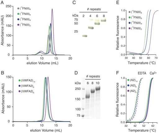 Expression and characterization of 13FNIII and VWFA2 tandem repeat proteins.Superposed elution profiles from size exclusion chromatography of (13FNIII)2–8 proteins (A) and (VWFA2)6–10 (B). (C,D) Coomassie stained SDS-PAGE of the purified proteins. (E,F) Unfolding curves from Thermofluor analysis suggest that the concatameric constructs are properly folded. Note the consistent shift of the (VWFA2)n unfolding curves in the presence and absence of Ca2+.
