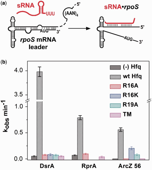 Rim mutants cannot facilitate annealing between sRNA and mRNA. (a) Annealing of 32P-labeled rpoS323, 200 nM sRNA and 1 mM Hfq was measured by native gel mobility shifts (Supplementary Figure S5). (b) Observed rate constants for formation of the rpoS•sRNA•Hfq ternary complex for Hfq rim mutants. Gray, no Hfq; black striping, WT Hfq; red, R16A; blue, R16K; dark cyan, R19A; magenta, R16A:R17A:R19D (TM).