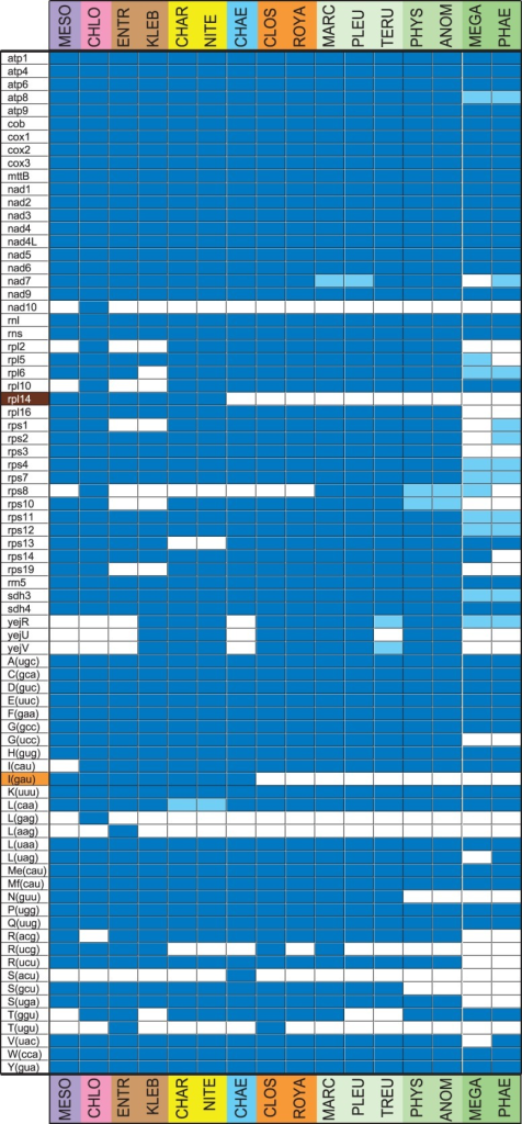 Gene repertoires of the streptophyte mitochondrial genomes examined in this study. The presence of a standard gene is indicated by a dark blue box and the presence of a pseudogene by a light blue box. The different colors on the left of the figure refer to gene distributions supporting distinct hypotheses concerning the sister group of land plants: orange, Zygnematales; brown, Coleochaetales + Zygnematales.