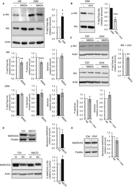 p-AKT dephosphorylation after LTD is impaired in old micep-Akt levels in acute hippocampal slices prepared from young (4M) and old (20M) mice in control conditions or 1 h after NMDA-LTD induction were assessed in Western blots. The quantification shows that in control conditions, the levels of p-Akt are 50% higher in 20M than in 4M mice. Stimulation with 20 μM NMDA induced p-Akt dephosphorylation in 4M but not in 20M mice. The bar plots show the levels of p-Akt in young and old mice, corrected for total Akt and for β-actin, in controls and after stimulation. The quantification of total Akt/β-actin shows that the total Akt levels do not change after stimulation. The levels of p-Akt/Akt after stimulation were: 4M = 0.75 ± 0.081 (n = 5 animals, P = 0.014), and 20M = 1.01 ± 0.047, (n = 5 animals, P = 0.767). The levels of p-Akt/β-actin after stimulation were: 4M = 0.76 ± 0.065, (n = 5 animals, P = 0.004), and 20M = 1.05 ± 0.15, (n = 8 animals, P = 0.726). The levels of total Akt/β-actin after stimulation were: 4M = 1.10 ± 0.101 (n = 5 animals, P = 0.340) and 20M = 1.08 ± 0.170, (n = 8 animals, P = 0.664).Western blot and quantification showing that addition of cholesterol to acute slices from 20M mice restores the basal levels of p-Akt observed in young mice [20M + chol = 0.47 ± 10.3 (n = 5 animals, P = 0.0008)].Control experiments show that the addition of cholesterol to acute hippocampal slices from 4M mice does not effect on the levels of p-Akt and total Akt, or on p-Akt dephosphorylation after 20 μM NMDA stimulation. p-Akt/β-actin: 4M + chol = 0.96 ± 0.139 (n = 5 animals, P = 0.805); Akt/β-actin: 4M + chol = 1.16 ± 0.138 (n = 5 animals, P = 0.311). The levels of p-Akt/Akt after stimulation were: 4M + chol = 0.81 ± 0.051 (n = 5 animals, P = 0.0143).Lower levels of the PIP2-binding protein MARCKS were found in membrane preparations from 15 DIV cholesterol-depleted neurons compared to controls. The plot shows the amount of MARCKS attached to the membrane relative to controls: control neurons = 1.00; MβCD-treated neurons = 0.688 ± 0.11 (P = 0.045, n = 5 different cultures). The Western blots below show the membrane-supernatant distribution of MARCKS in control neurons or after cholesterol depletion by MβCD. As can be seen in the blots, MβCD provokes a reduction in the MARCKS present in the membrane fraction (M) with a concomitant 26.33 ± 6.4% increase in the supernatant (SN, P = 0.02, n = 3 different cultures).The Western blot corresponds to control experiments showing that the addition of cholesterol to hippocampal slices from 4M mice does not affect the amount of MARCKS found in membrane fractions: 4M + chol = 0.80 ± 0.124 (P = 0.187, n = 3 animals).Data information: In (A-E), the presented values are relative to controls, considered as 1. The P-values correspond to 2-sided t-test. Source data are available for this figure.