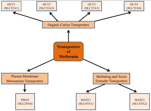 Metformin transporters: Isoforms and genes that demonstrate a role in metformin pharmacokinetics, pharmacogenetics, and thus have an impact on its pharmacological efficacy. Metformin is absorbed from the lumen of the gastrointestinal tract through plasma membrane monoamine transporter (PMAT). It requires the organic cation transporters (OCTs), located in the basolateral membrane of human hepatocytes, to be transported into the liver, thus decreasing hepatic glucose synthesis. The multidrug and toxin extrusion 1 and 2 (MATE1 and MATE2), located in the apical membrane of kidney proximal tubular cells, facilitate metformin excretion into urine. Genetic variation in transporter genes may alter transporter expression and functionality and thus metformin response.