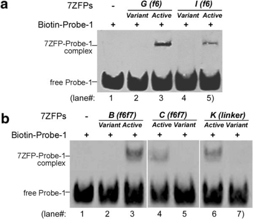 Results of EMSA assay for the binding of the purified 7ZFPs to the p16-specific Probe-1. (a) The binding activity of 7ZFPs to the Probe-1 DNA was abolished after the S to R mutation in finger 6 in the 7ZFPs Active-G and Active-I; Variant-(f6), variants with a S to R mutation of the key amino acid at the position +2 of the α-helix in finger-6 in 7ZFPs; (b) The binding activity of 7ZFPs to the Probe-1 DNA was abolished when their C-terminal 2ZF domain in was replaced with the middle 2ZF domain in the 7ZFP Active-B and Active-C, or the linker between finger-7 and the 6Histidine-tag in the C-terminal region was shorten from TGEKP to TG in the 7ZFP Active-K.