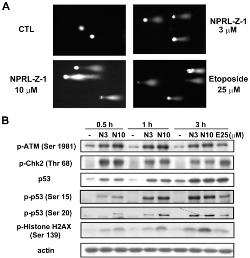 Effects of NPRL-Z-1 on DNA DSBs and DNA checkpoint pathway.(A) A498 cells were seeded and treated with NPRL-Z-1 or etoposide for 30 min and processed for the comet assay as detailed in Materials and Methods. (B) A498 cells were incubated with DMSO or 3 or 10 µM NPRL-Z-1 for the indicated time periods. After treatment, cells were harvested and lysed for detection of the expression of indicated protein via western blotting. N3, N10 and E25 indicated as NPRL-Z-1 3 µM, 10 µM and etoposide 25 µM, respectively.