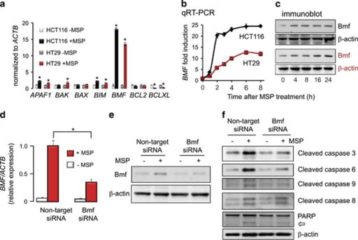 Bmf has a pivotal role in the apoptotic mechanism triggered by MSP. (a) Quantitative real-time PCR (qRT-PCR) assays of survival genes normalized to β-actin (ACTB), 12 h after treatment of colon cancer cells with MSP (10 μM) or vehicle. Data indicate mean±S.D., n=3, *P<0.05 using Students t-test to compare MSP-treated cells with vehicle controls. (b, c) Time-course for induction of BMF mRNA (mean±S.D., n=3) and Bmf protein expression. (d, e) In HCT116 cells, MSP was significantly less effective at inducing BMF mRNA (mean±S.D., n=3, *P<0.05) and Bmf protein expression following siRNA-mediated knockdown of Bmf. (f) Reduced cleavage of caspases and (open arrow) PARP in MSP-treated HCT116 cells following Bmf knockdown. Results in a–f are representative findings from two or more experiments