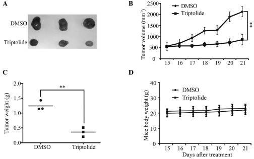 Triptolide inhibited tumor growth and development in the xenograft model. BE(2)-C cells (1×106) were injected subcutaneously into the flanks of NOD/SCID mice. After tumor formation (approximately two weeks), mice were injected with DMSO or triptolide (0.4 mg/kg) daily for seven days. (A) Images of tumors dissected from NOD/SCID mice after treatment with triptolide or DMSO. (B) Xenograft tumors were measured daily, after treatment with triptolide or DMSO, by calipers. (C) Scatter plot of xenograft tumor weight with horizontal lines indicated the mean in each group. (D) The average body weight of NOD/SCID mice was monitored daily after treatment with triptolide or DMSO. Data are presented as the mean ± standard deviation. *P<0.05 and **P<0.01, compared with control. DMSO, dimethyl sulfoxide; NOD mice, non-obese diabetic mice; SCID mice, severe combined immunodeficiency mice.