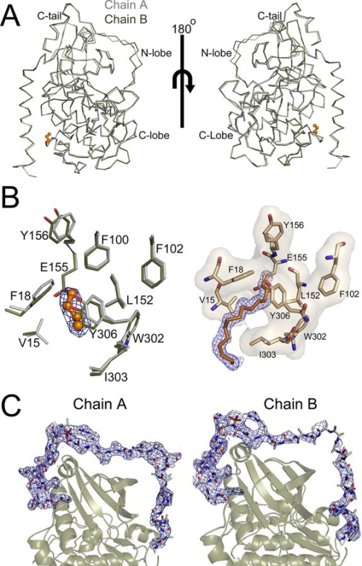 Apo structure of the catalytic subunit of PKA. (A) Theoverallapo structure is displayed in ribbon representation with chain A coloredgray and chain B colored olive and with chains A and B aligned bythe entire protein. (B) (left) The myristic acid binding pocket forchains A and B, which are colored as in panel A, is displayed alongwith the 2Fo – Fc electron density at 1σ shown in blue for the myristicacid group from chain A. There is no electron density for myristicacid in chain B. (right) In contrast, the 2Fo – Fc electron densityat 1σ is visible for the entire myristic acid group in the closedstate (4DFX).25 (C) The 2Fo – Fc electron density at 1σ is shown in bluefor the C-terminal tail of chains A and B.
