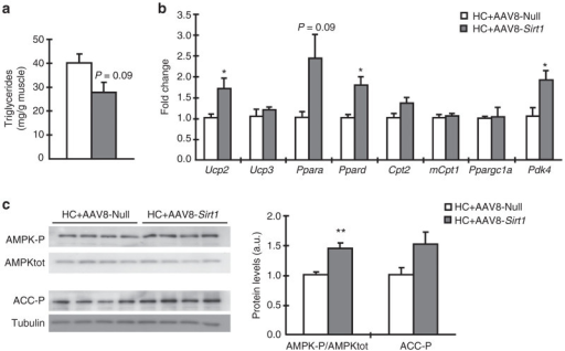 AAV8-Sirt1–treated mice showed increased β-oxidation capacity in skeletal muscle. (a) Triglyceride content in skeletal muscle. (b) Expression levels of Mitochondrial uncoupling protein 2 (Ucp2), Mitochondrial uncoupling protein 3 (Ucp3), Peroxisome proliferator activated receptor α (Pparα), Peroxisome proliferator activated receptor δ (Ppard), Carnitinepalmitoyltransferase 2 (Cpt2), Carnitinepalmitoyltransferase 1 (mCpt1), Peroxisome proliferative activated receptor, gamma, coactivator 1 α (Ppargc1α), and Pyruvate deshydrogenase kinase isoenzyme 4 (Pdk4). (c) Representative western blots and quantifications are shown for total AMP protein kinase (AMPKtot), phosphorylated AMPK (AMPK-P), phosphorylated Acetyl-CoA Carboxylase (ACC-P) and tubulin protein levels in skeletal muscle of AAV8-Null and AAV8-Sirt1 mice. Tubulin was used as a loading control. All analyses were performed after 15 weeks on HC diet. Data represent the mean ± SEM of at least four animals per group. *P < 0.05 and **P < 0.01 versus AAV8-Null. a.u., arbitrary units.
