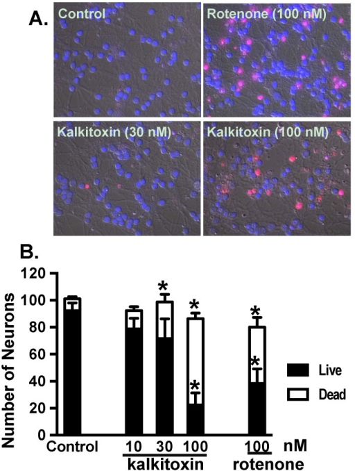 "alkitoxin induces neurotoxicity in vitro. (A) Representative images of PI and Hoechst-33342 stained rat CGNs exposed to media (control) and kalkitoxin (30 and 100 nM, respectively) for 24 h; (B) The extent of cell death was quantified by counting live and dead (PI positive) neurons in four randomly selected fields for each specified condition. Data shown are mean + standard error (n = 8), pooled from two independent experiments. An ""∗"" indicates statistically significant difference when compared to the untreated control."