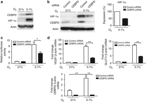Hypoxia-inducible factor (HIF)-1 regulation by CCAAT/enhancer-binding protein δ (CEBPD) in tubular epithelial cells. (a) CEBPD protein is upregulated by hypoxia (0.1% O2) in HK-2 cells. (b) Knockdown of CEBPD decreased HIF-1α protein expression. Right panel shows densitometrical quantification of HIF-1α protein under hypoxic condition of three independent experiments. (c) Knockdown of CEBPD significantly decreased HREluc activity under hypoxia. The ratio of luciferase reporter activity (firefly/CMV-Renilla) to that of control small interfering RNA (siRNA) under normoxia is indicated. (d) Real-time qRT-PCR for HIF-1 target genes, glucose transporter 1 (GLUT1) and vascular endothelial growth factor (VEGF), also demonstrated that their induction under hypoxia is dependent on CEBPD. Bar graph (mean±s.e.m. or representative of three independent experiments) statistics performed using two-way analysis of variance (ANOVA) with Bonferroni post-hoc tests. *P<0.05 and **P<0.01.