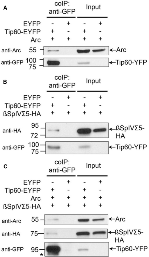 Arc and βSpIVΣ5 interact with Tip60. A, Tip60 interacts with Arc. HEK293T cells were transfected with either Arc in pCDNA3.1 and YFP vector, or Arc-pCDNA3.1 and Tip60-YFP. Tip60-YFP was immunoprecipitated with a mouse anti-GFP antibody, and Arc was detected with a rabbit anti-Arc antibody. B, Tip60 interacts with βSpIVΣ5. HEK293T cells were transfected with either βSpIVΣ5-HA and YFP vector or βSpIVΣ5-HA and Tip60-YFP. Tip60-YFP was immunoprecipitated with a mouse anti-GFP antibody, and βSpIVΣ5-HA was detected with a mouse anti-HA antibody. C, Tip60 interacts with both Arc and βSpIVΣ5. HEK293T cells were transfected with Arc, βSpIVΣ5-HA, and either YFP or Tip60-YFP. Tip60-YFP was immunoprecipitated with a mouse anti-GFP antibody, and Arc or βSpIVΣ5-HA was detected with a rabbit anti-Arc or mouse anti-HA antibody respectively. The asterix (*) denotes an unidentified band.