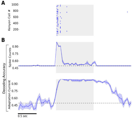 (A) Kenyon Cell spike raster plot. Stimulation is indicated by gray shading (B) Top: Decoding Accuracy given two odors (chance level: 0.5) as a function of time based on spike count estimates in 50ms time bins. Bottom: Decoding accuracy based on KC adaptation currents. Cellular adaptation levels provide a stable odor trace that persists as an odor afterimage.