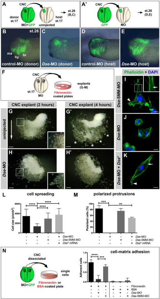 DS-epi1 has a tissue-autonomous role in CNC cell migration, adherence to fibronectin and cell polarization. (A,A′) Schemes for transplantation experiments. A CNC explant from an embryo injected with 300 pg GFP mRNA was homotypically grafted at stage 17. MOs were injected into the donor (A) or host embryo (A′). (B-E) Lateral view of embryos at stage 26. Grafted GFP+ CNC cells migrate ventrally when derived from control-MO-injected embryos (B); however, they do not properly migrate when derived from Dse-MO-injected embryos (C). br, branchial segment; hy, hyoid segment; ma, mandibular segment. The CNC cell migration was normal when the host embryo was injected with control-MO or Dse-MO (D,E). Three independent experiments were performed (n=3). (F) Scheme illustrating the culture of stage 17 morphant CNC explants on fibronectin-coated plates. (G,G′) At 2 h after plating (G), the control-MO-injected CNC explant exhibits collective cell migration in one direction (arrow). The inset shows a magnification of spread cells. After 4 h (G′), the cells migrate in distinct streams (asterisks). (H,H′) Cells of Dse-MO-injected CNC explants detach from each other and fail to adhere to the fibronectin substrate. The inset depicts a magnification of the spherical cells. (I-K) Confocal microscopy of fixed CNC cells after 5 h of explant culture on fibronectin. Phalloidin–Alexa-Fluor-488 and DAPI label F-actin and cell nuclei, respectively. The Dse-5MM-MO-injected control cell (I) exhibits lamellipodia at the leading edge (arrowhead) and stress fibers in the inner regions of the cell (arrow in inset). Dse-morphant cells (J) exhibit cortical networks of stress fibers and lack polarized protrusions. Co-injection of Dse-MO and 1 ng Dse* mRNA per embryo (K) restores the normal cytoskeleton and cell shape. (L,M) Quantification of cell spreading (L) and formation of polarized cell protrusions (M) in dissociated phalloidin-stained single cells from CNC explants following 5 h of culture on fibronectin. Cell spreading and polarized protrusions were quantified by calculating the cell size as the square number of pixels (ImageJ) and determining the percentage of cells with lamellipodia or filopodia, respectively. Uninjected and Dse-5MM-MO-injected explants exhibit a similar extent of cell spreading and formation of polarized protrusions. The reduction in the cell size and the lack of lamellipodia and filopodia are rescued by the co-injection of Dse* mRNA in Dse-morphant explants. A minimum of 100 cells per sample were evaluated in each experiment. Number of independent experiments (n≥3). Results are mean±s.d. (N) Cell–matrix adhesion of dissociated single CNC cells on fibronectin- or BSA-coated plates. Following the co-injection of MO and 300 pg GFP mRNA, CNC explants from stage 17 embryos were dissociated in Ca2+- and Mg2+-free medium and cultured for 45 min on fibronectin or BSA. The Dse-morphant cells exhibit decreased adhesion to fibronectin compared with the control and Dse-5MM-MO-injected cells. None of the analyzed cell samples exhibited significant cell adhesion to BSA. At least three independent experiments were performed for each sample (n≥3). Results are mean±s.d. The proportion of examined explants or cells with the indicated phenotype was as follows: B, 10/12; C, 11/13; D, 7/7; E, 9/9; G, 30/34; H, 26/28. Scale bars: 100 µm (G-H′); 10 µm (I-K). **P<0.01, ***P<0.001, ****P<0.0001 (one-way ANOVA multiple comparisons test with Tukey correction).