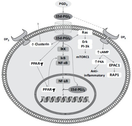 Schematic representation of the effect of 15d-PGJ2. 15d-PGJ2 has a number of pathways by which it initiates an anti-inflammatory cascade. It can react with the PGD2 receptors (DP1 and DP2) to stimulate cyclic AMP (cAMP) production and increase protein kinase A (PKA) leading to downstream anti-inflammatory effects. More importantly, 15d-PGJ2 can enter the cell directly and activate PPARγ resulting in the transcription of multiple anti-inflammatory mRNAs. Additionally, PPARγ inhibits the transcription factor NF-κB by binding to the inhibitor IκB thus protecting IκB degradation by IκB kinase (IKK). Finally, 15d-PGJ2 can also inhibit IKK activity through possible covalent modification and, further downstream, can inhibit NF-κB nuclear translocation as well as impairing NF-κB binding to DNA.