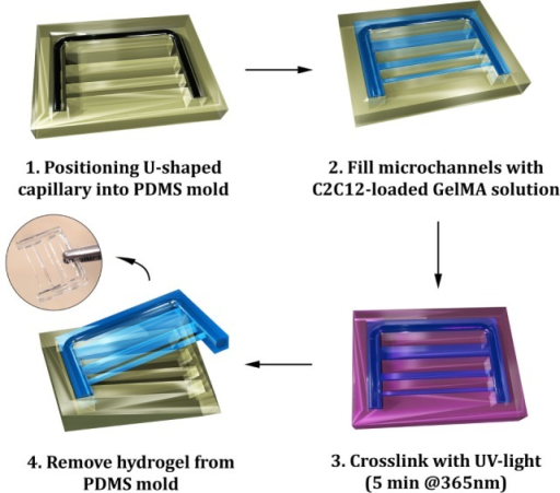 Scheme of the micromolding process for the fabrication of gelatin methacryloyl (GelMA) hydrogels: a U-shaped glass capillary is embedded within the hydrogel to act as a supporting frame for the hydrogel strings having different cross sections.