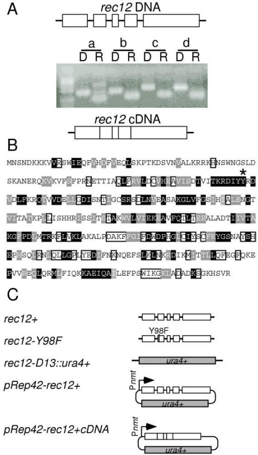 Structure of the rec12 gene and constructs used. (A) Intron/exon structure. Genomic DNA (D) and total RNA (R) obtained from meiotic cultures of strain WSP0020 were subject to PCR and RT-PCR, respectively, using primers flanking the putative introns (a-d). Products were resolved on a 2% agarose gel stained with EtBr. (B) Primary sequence of Rec12 protein based upon the DNA sequence of a complementing cDNA clone. Residues of Rec12 with at least 50% identity (black boxes) or 50% conservation (gray boxes) relative to other eukaryotic Spo11 family members are indicated. Also shown are the positions of the active site tyrosine (*) and residues conserved among other Spo11 family members, but not conserved in S. pombe (open boxes). Alignments evaluated proteins from S. pombe (P40384), Neurospora crassa (Q9P6Y7), Coprinus cinereus (Q9P4D2), Homo sapiens (Q9NQM7), Mus musculus (Q9QZS1), Arabidopsis thaliana (AAL01152), Drosophila melanogaster (O77205), Caenorhabditis elegans (Q22236), and Saccharomyces cerevisiae (P23179). (C) Structure of constructs. Gene targeting of the endogenous rec12+ locus was used to introduce a  allele (rec12-D15::ura4+) lacking the complete coding region and a point mutation allele (rec12-Y98F) encoding a protein in which the active site tyrosine at position 98 was replaced with phenylalanine. Placing the rec12+ coding region and the rec12+ cDNA into the various pREP plasmids [32] allowed for a wide range of regulated gene expression.